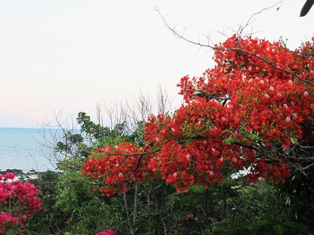 Phố biển và phố núi rực màu phượng đỏ