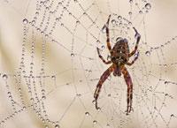 Cô nhện