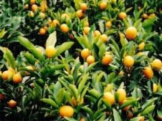 Cây chanh quả vàng