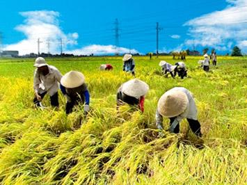 Tuổi thơ với mùa gặt (Xanh Nguyên)