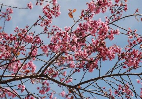 Mai anh đào rực rỡ đón mùa xuân Đà Lạt