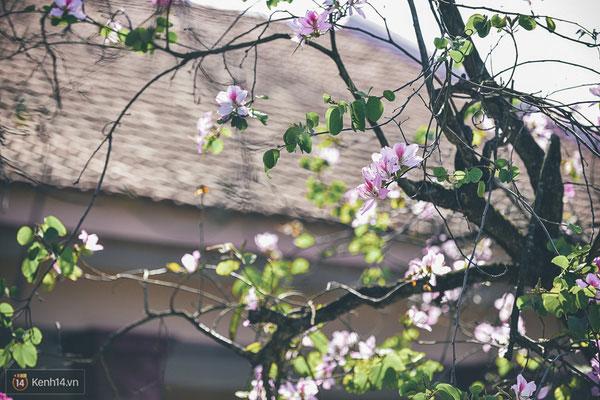 Nhẹ nhàng mùa hoa ban về trên phố Hà Nội