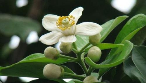 Tinh khôi hoa bưởi tháng Ba
