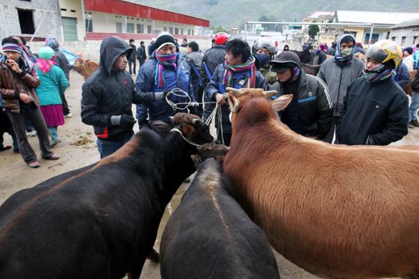 Tới Hà Giang ghé thăm chợ bò Mèo Vạc