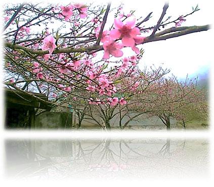 Câu chuyện về một mùa hoa đào điểm mây trắng (kỳ 1)