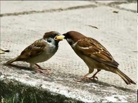 Đồng dao: Chim sẻ