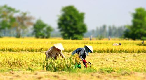 Ai cùng gặt lúa đỏ đuôi