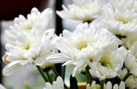Sự tích bông hoa cúc trắng