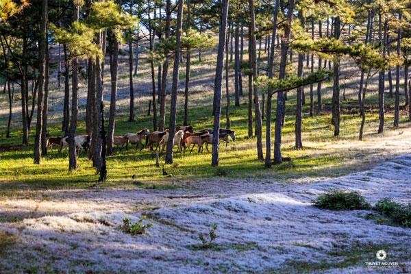 Loài cỏ khiến Đà Lạt bừng lên sắc hồng của núi