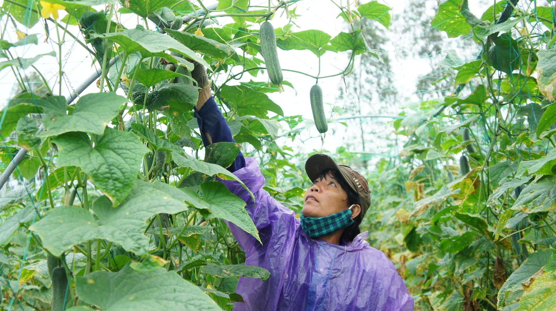 Đà Nẵng đẩy mạnh ứng dụng công nghệ cao trong nông nghiệp
