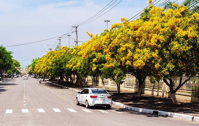 Những con đường hoa sưa vàng rực ở Quảng Nam