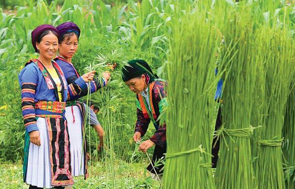 Cây lanh - biểu tượng văn hoá người Mông