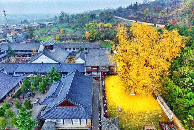 Sững sờ trước vẻ đẹp của cây bạch quả 1400 năm tuổi