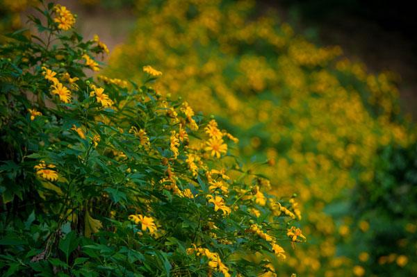 Hoa dã quỳ trải thảm vàng ở Ba Vì