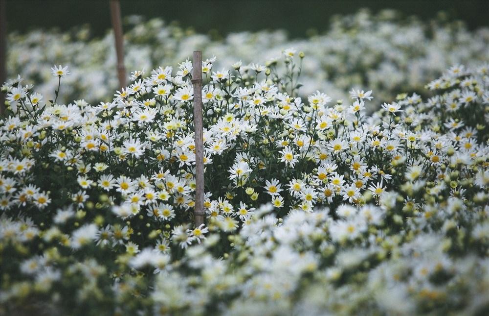 Những bông hoa li ti