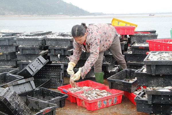 Sau Tết, ngư dân các tỉnh miền Trung trúng đậm cá trích, cá cơm