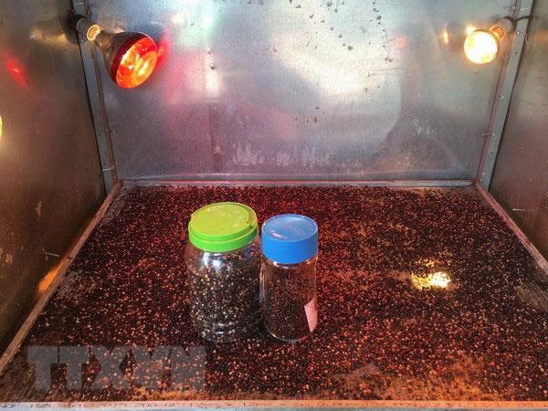 Nông dân sáng chế thành công máy sấy tiêu sạch bằng tia hồng ngoại