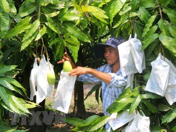 Ứng dụng công nghệ sau thu hoạch đối với trái xoài ở ĐBSCL