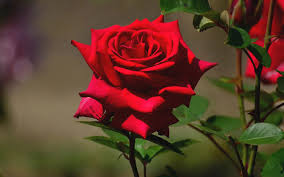 Hoa hồng cho mẹ