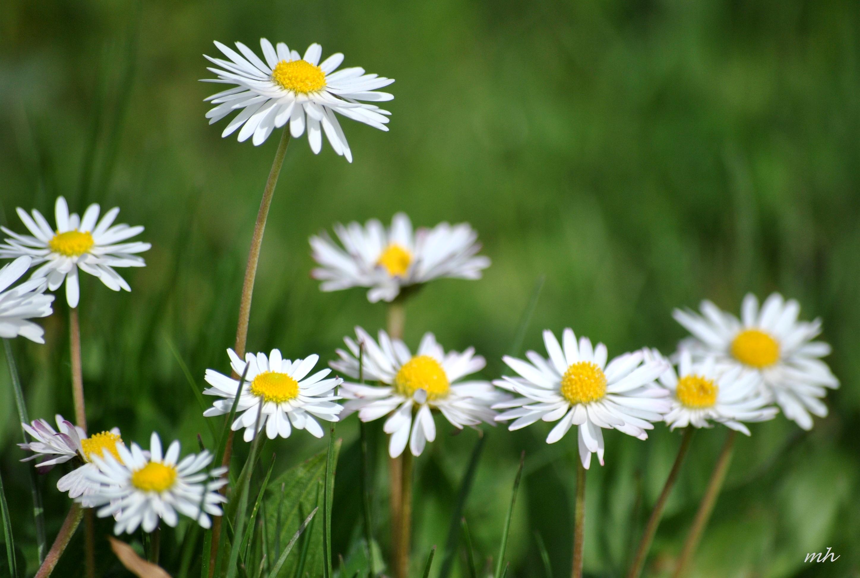 Chiều hoa cúc...