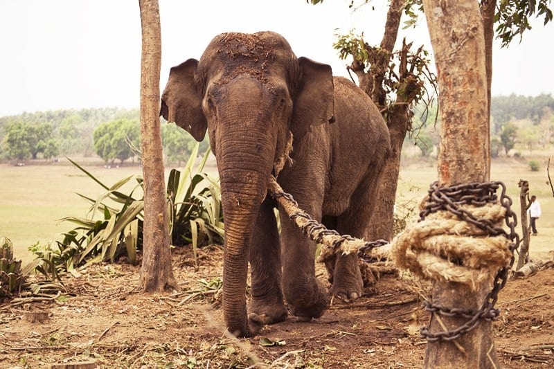 Câu chuyện suy ngẫm: Con voi và sợi dây thừng trói chân