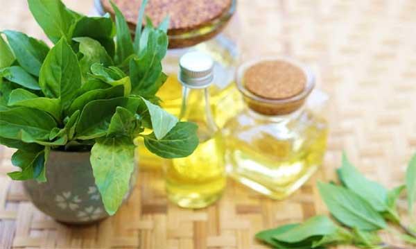Tinh dầu húng quế - thơm, nhiều tác dụng và dễ dùng