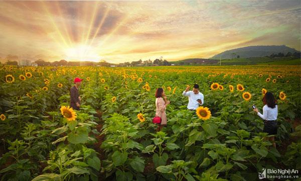 Nghệ An: Sẵn sàng cho Lễ hội hoa Hướng dương năm 2019