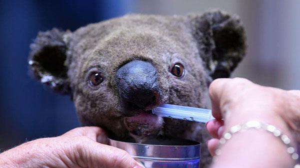 Động vật bản địa của Australia có nguy cơ tuyệt chủng do cháy rừng