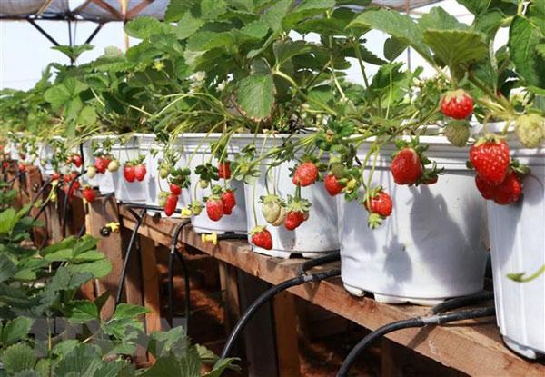 Độc đáo mô hình trồng dâu tây ở xứ nóng Ninh Thuận