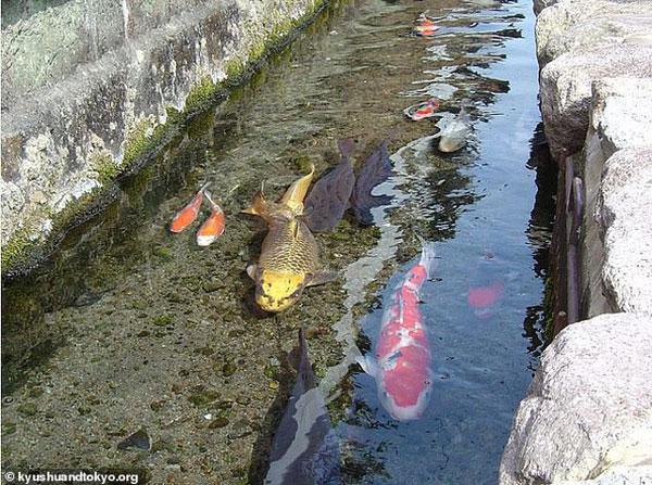Nhật Bản hút khách nhờ những đàn cá Koi bơi trong cống thoát nước