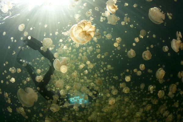 Bí ẩn hồ nước chứa hàng triệu con sứa biển