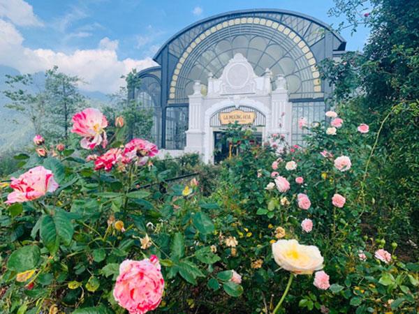 Đến Sapa chiêm ngưỡng thung lũng hoa hồng đạt kỷ lục lớn nhất Việt Nam