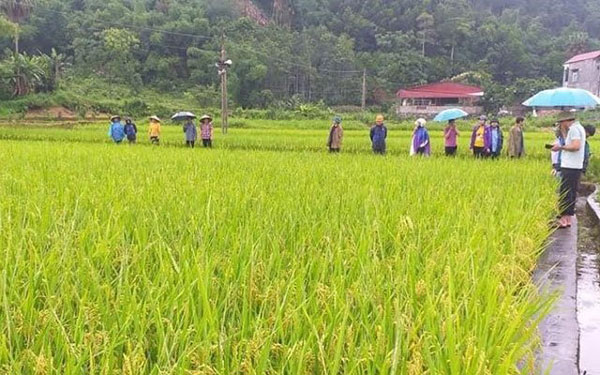 Giống lúa Nhật Bản trên đồng đất Bắc Kạn
