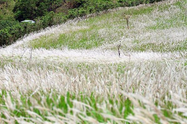 Phát hiện tiềm năng của cỏ lau xâm lấn trong chăm sóc sức khỏe