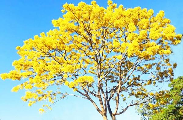 Ngẩn ngơ ngắm phượng vàng 'tỏa nắng' trên cao nguyên Lâm Đồng