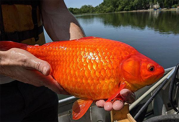 Cá vàng kích thước 'quái vật' trong hồ tại Mỹ