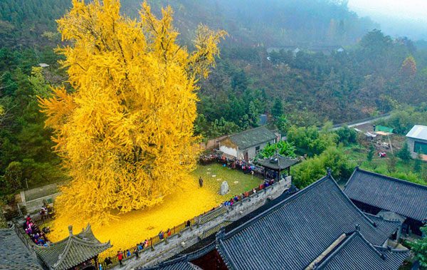 Bí ẩn cây ngân hạnh hơn 1.400 tuổi ở Trung Quốc